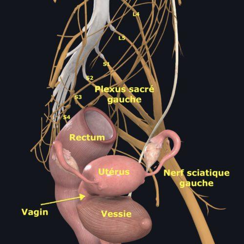 chéma anatomique du plexus sacré gauche et du nerf sciatique gauche